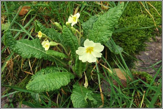 For You Flowers >> Irish Wildflowers - Primrose