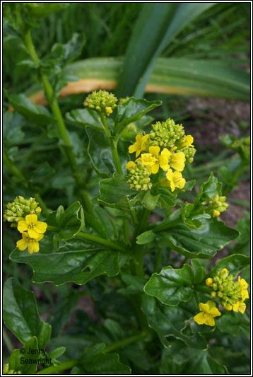 irish wildflowers   winter cress