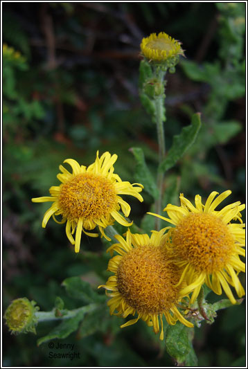 Irish Wildflowers - Common Fleabane