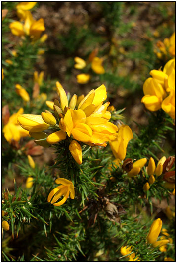 Irish Wildflowers - European Gorse