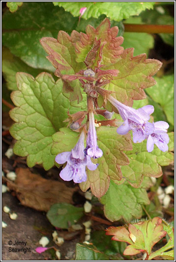 Irish Wildflowers Ground Ivy