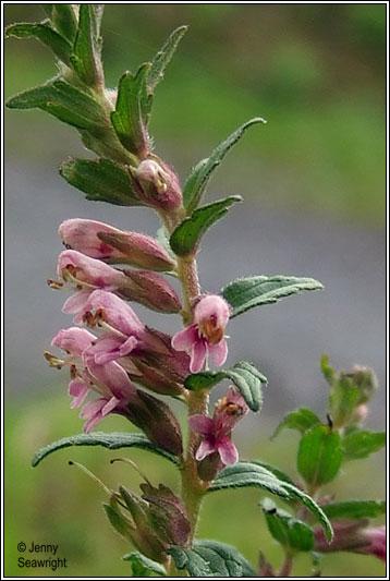 Irish Wildflowers Red Bartsia