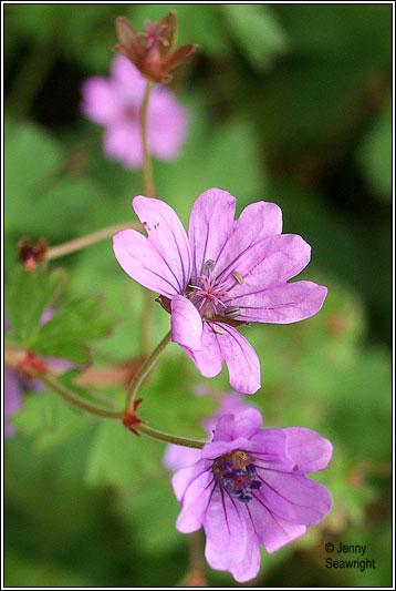 For You Flowers >> Irish Wildflowers - Hedgerow Crane's-bill