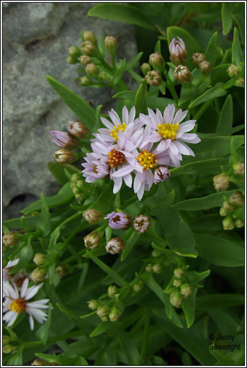 Irish Wildflowers Sea Aster Aster Tripolium