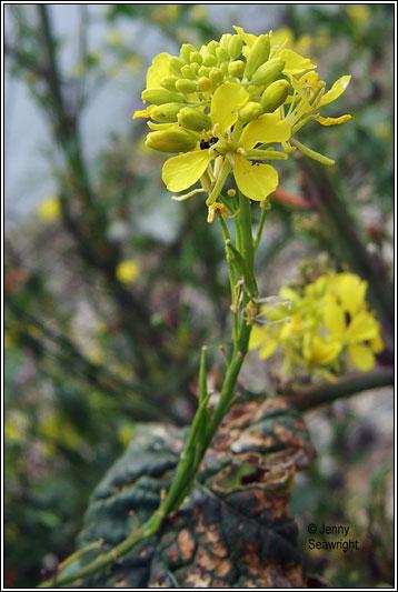 Irish Wildflowers Black Mustard