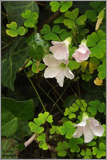 Irish Wildflowers Pale Pink Sorrel