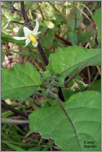 Irish Wildflowers Black Nightshade