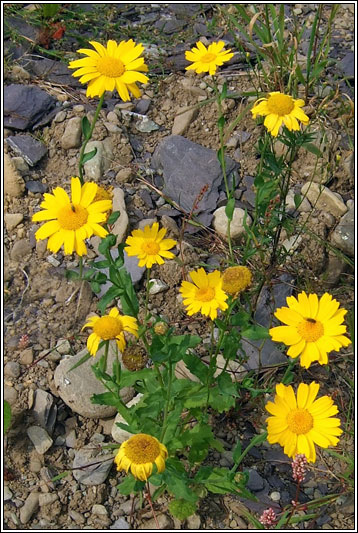 Irish Wildflowers Corn Marigold
