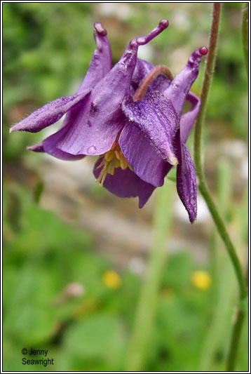 Irish Wildflowers Columbine