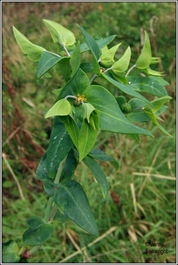 Irish Wildflowers Caper Spurge