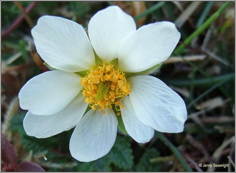 Irish Wildflowers - Mountain Avens, Dryas octopetala