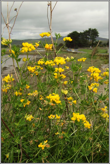 Irish Wildflowers Common Birds Foot Trefoil Lotus