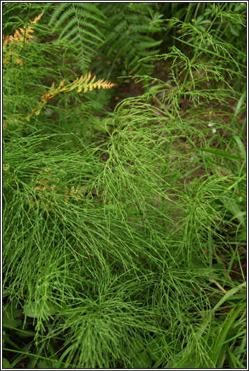 Wood Horsetail, Equisetum sylvaticum