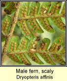 male fern,scaly