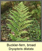 buckler fern,broad