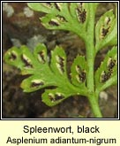 spleenwort,black