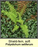 shield fern,soft