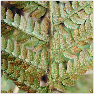 Soft Shield-fern, Polystitchum setiferum