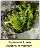 spleenwort,sea