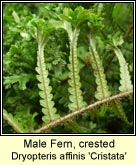 male fern,crested