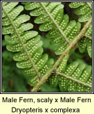 male fern,scaly x male fern