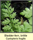 bladder-fern, brittle