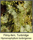 filmy-fern,tunbridge