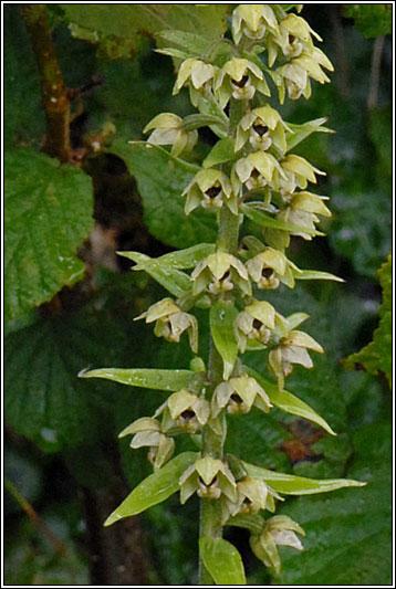 Irish Wildflowers Broad Leaved Helleborine Epipactis