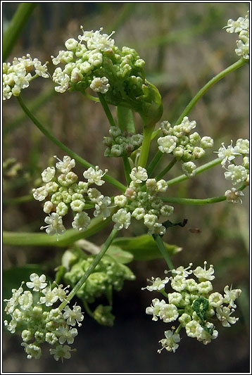 Irish Wildflowers - Wild Celery, Apium graveolens