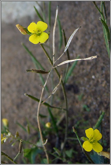 Annual Wall-rocket, Diplotaxis muralis