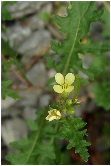 Hairy Rocket, Erucastrum gallicum