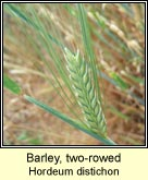 barley,two-rowed