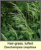 hair-grass,tufted