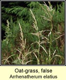 oat-grass,false