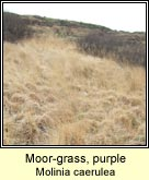 moor-grass,purple