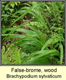false-brome,wood