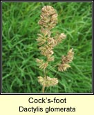 cocksfoot