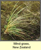 wind-grass, new zealand