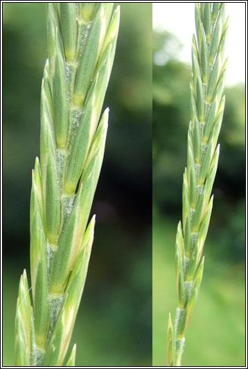 Elymus repens (Quackgrass) (Agropyron repens)