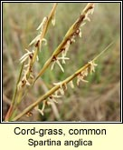 cord-grass,common