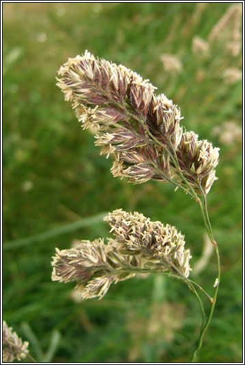 Irish Grasses