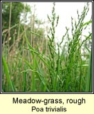 meadow-grass