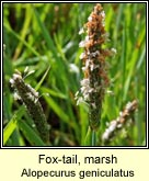 fox-tail,marsh