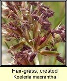 hair-grass,crested