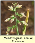 meadow-grass,annual