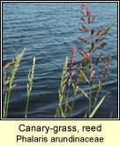 canary-grass,reed