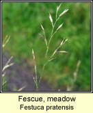 fescue,meadow