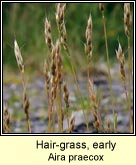 hair-grass,early