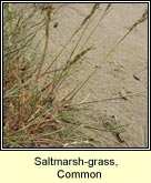 saltmarsh-grass, common
