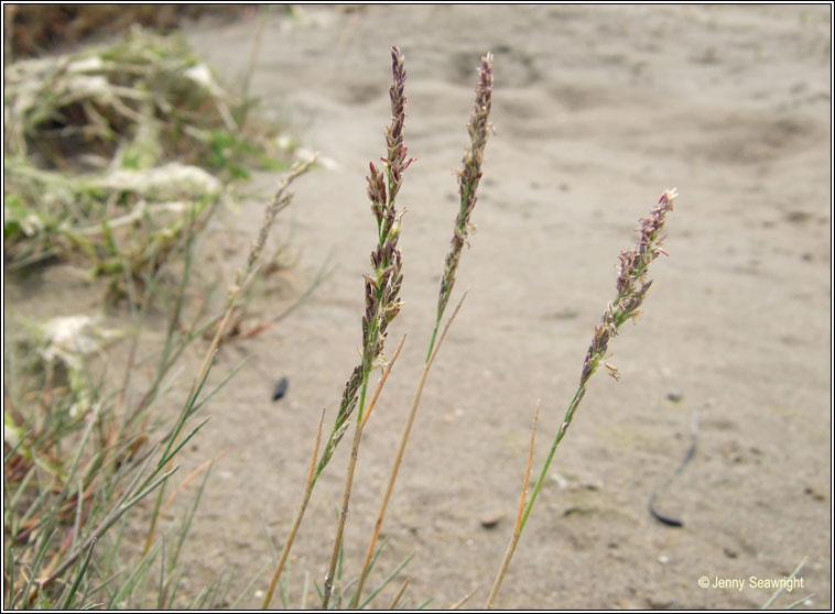 Common Saltmarsh-grass, Puccinellia maritima